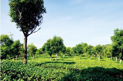 云南普洱萨露茶厂