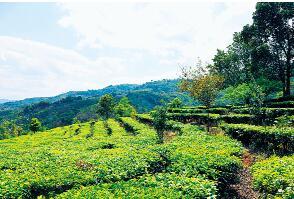 普洱市曼昔茶场