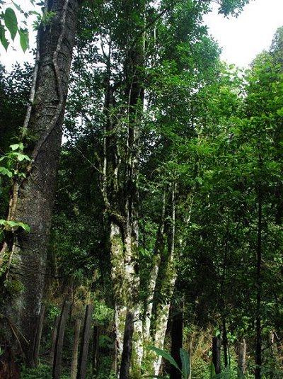 普洱茶产地之古茶树茶山篇(江外六大茶山):巴达古茶山