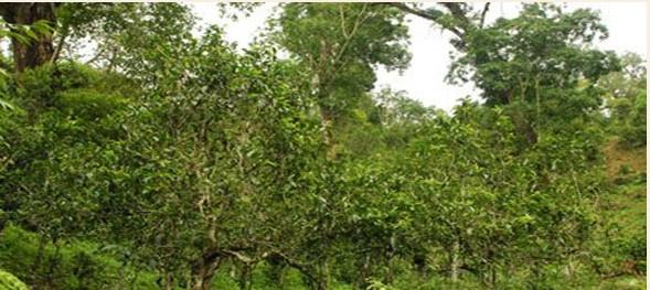 普洱茶产地之古茶树茶山篇(江外六大茶山):布朗古茶山
