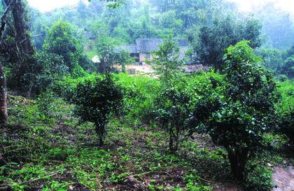 普洱茶产地之古茶树茶山篇(江内六大茶山):莽枝古茶山
